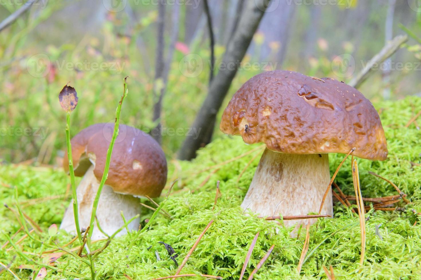 små kepsar i skogen foto