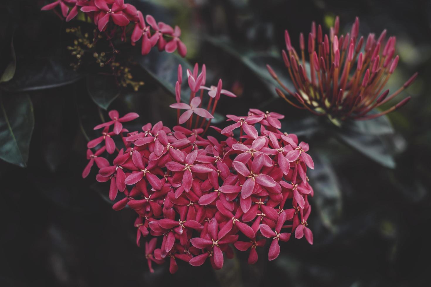 närbild av röda ixora blommor foto