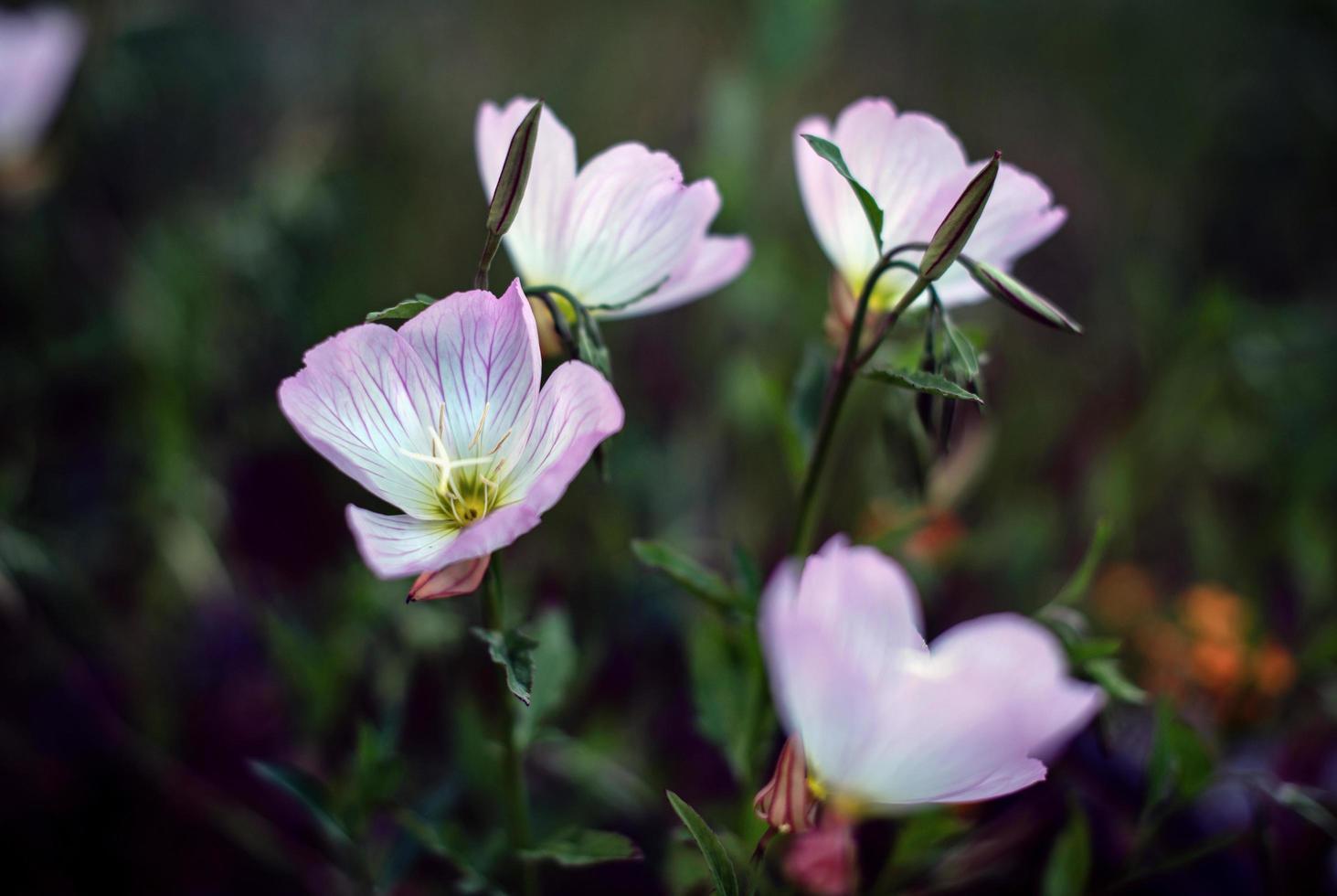 lila och vita blommor foto