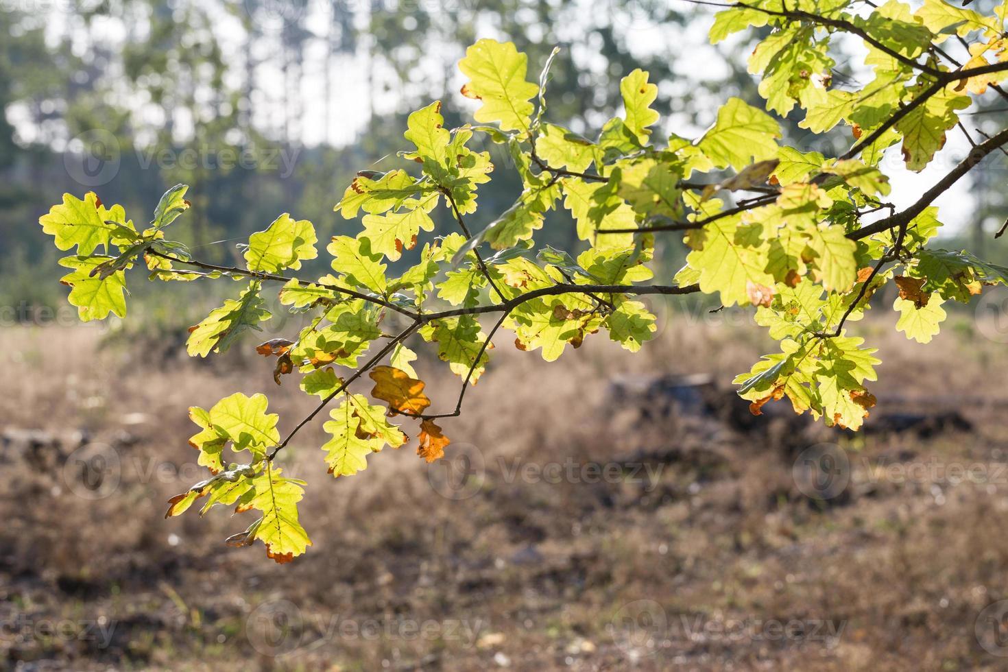 ek lämnar från vind i naturen. foto