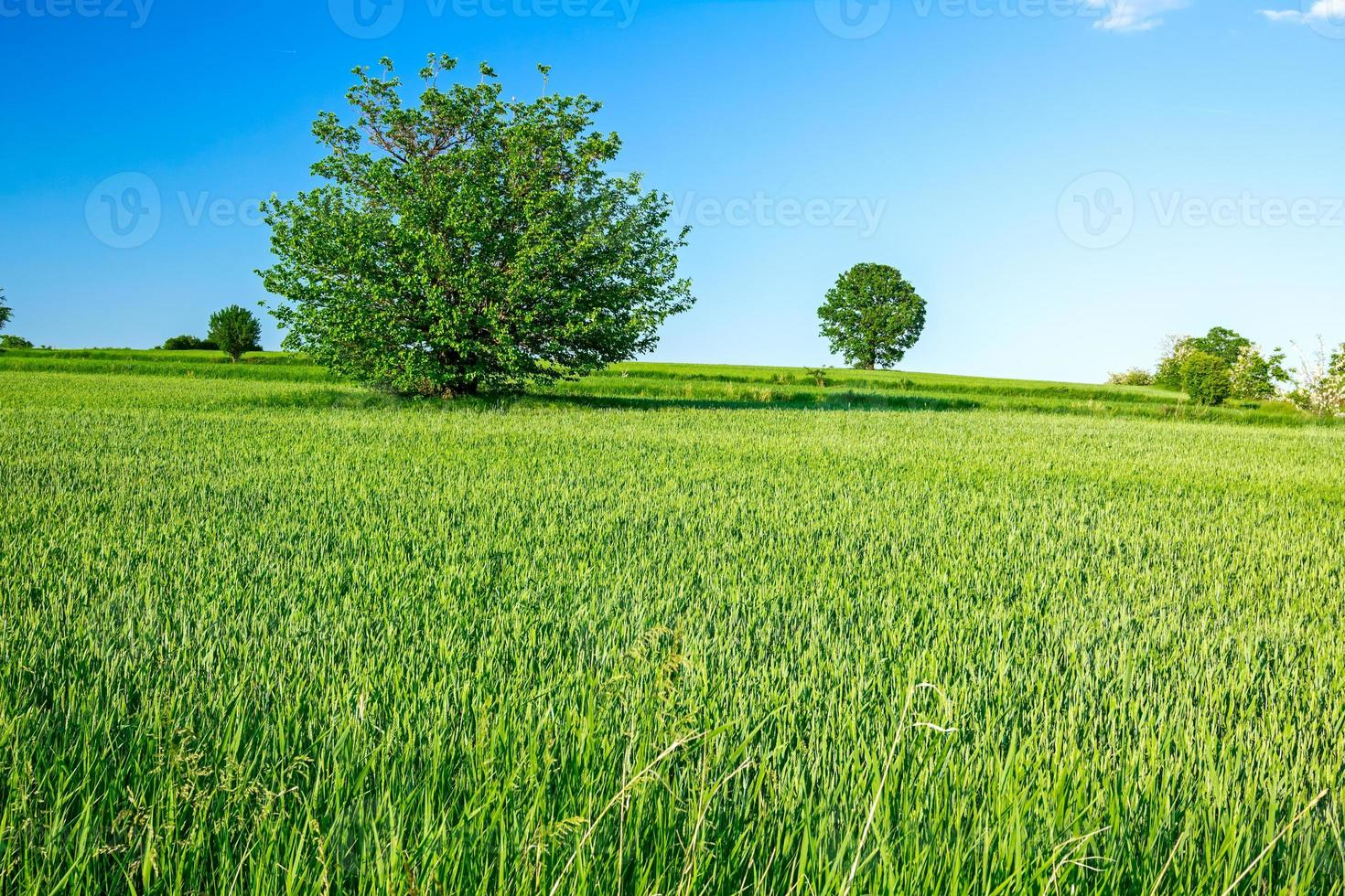 grönt korn i kuperat landskap foto
