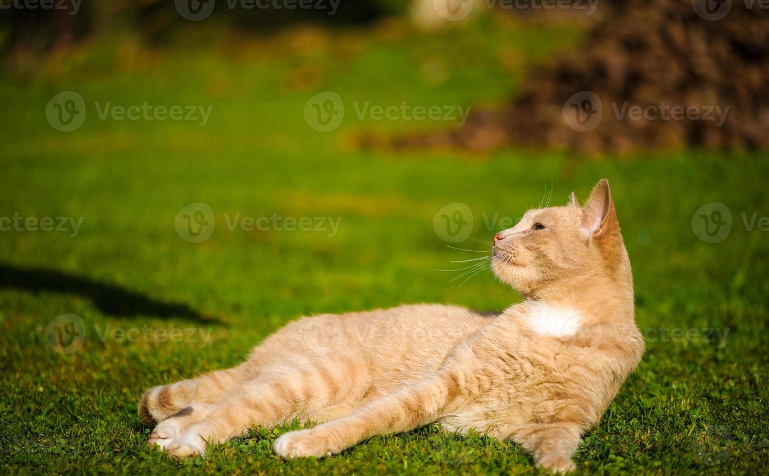rolig rödhårig katt foto