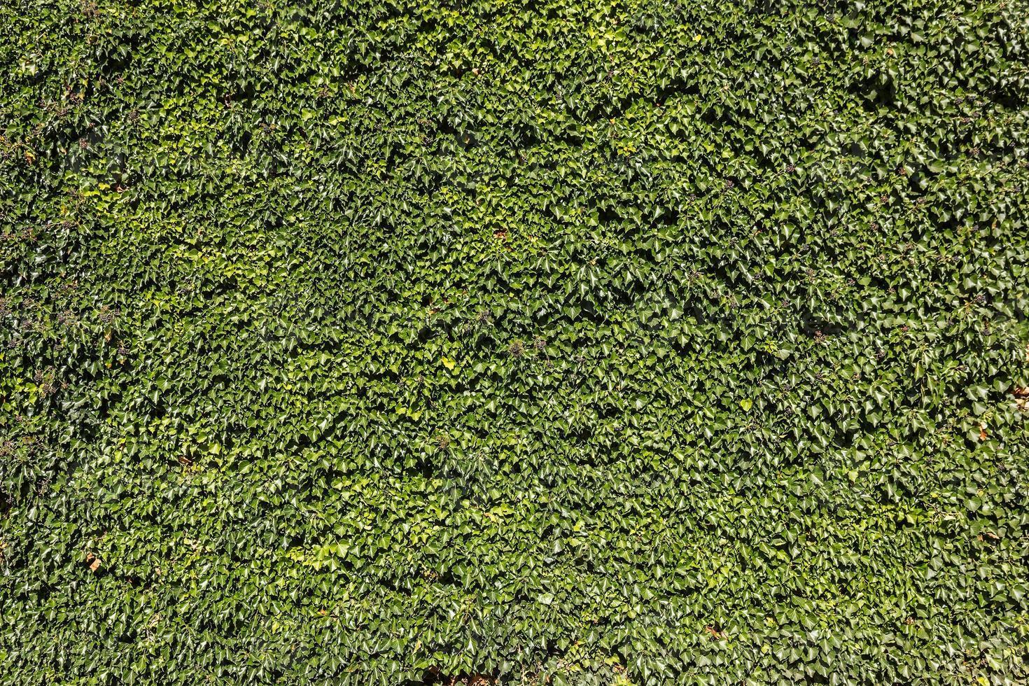 murgröna (hedera). naturlig grön bakgrund. foto
