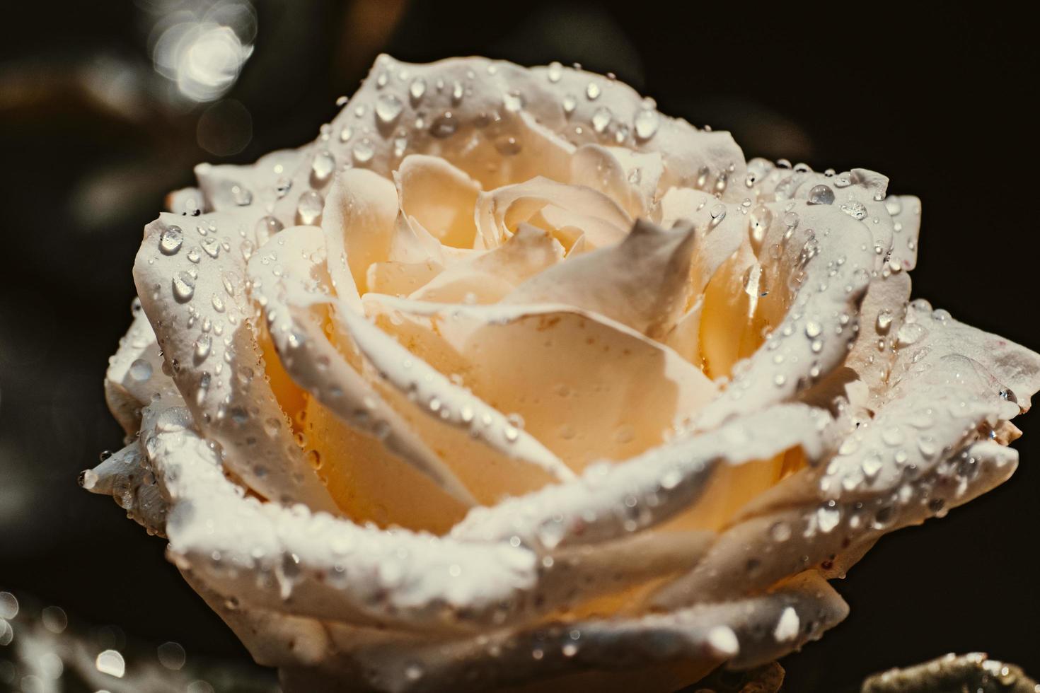 vit ros med vattendroppar foto