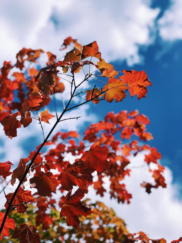 färgglada lönnträd foto