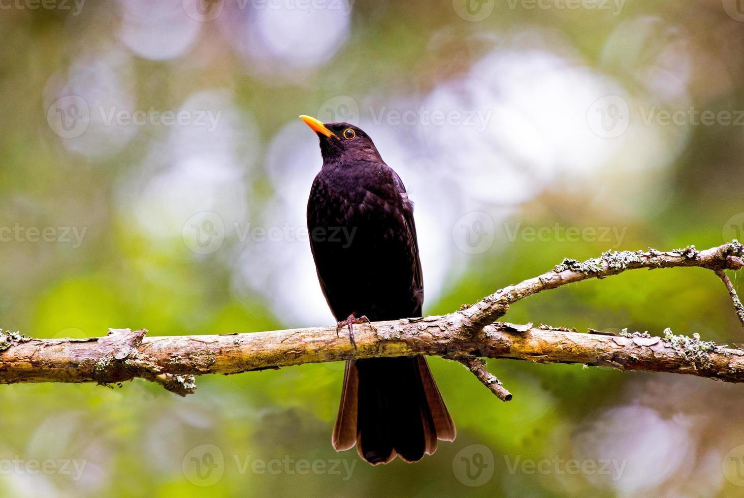 vanlig svartfågel foto