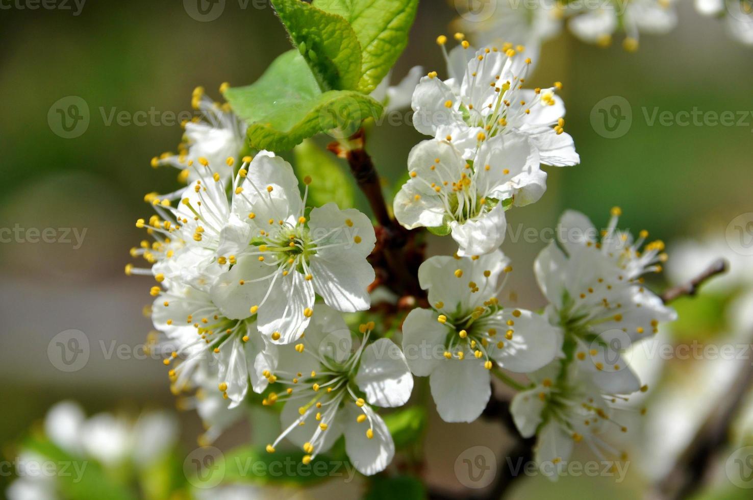 körsbär blommar på våren foto