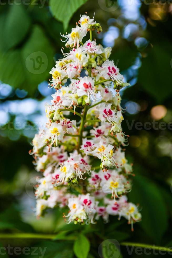 massa blommor av hästkastanjeträdet foto