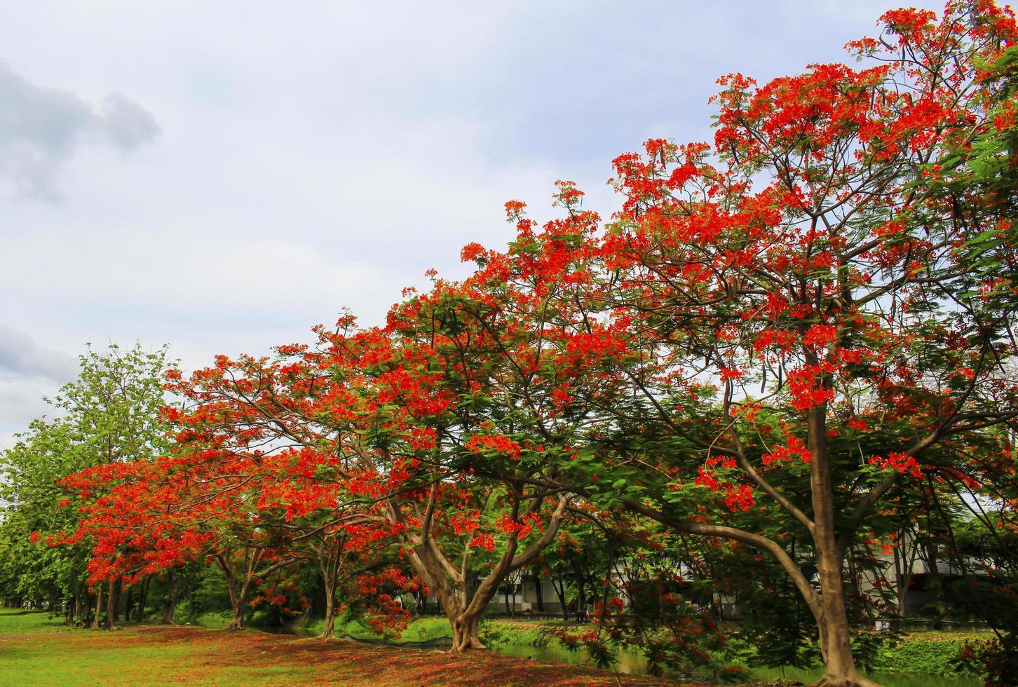 röda blommor på träd foto