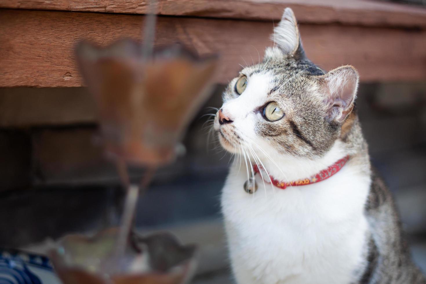 thailändsk katt i utomhusträdgård foto