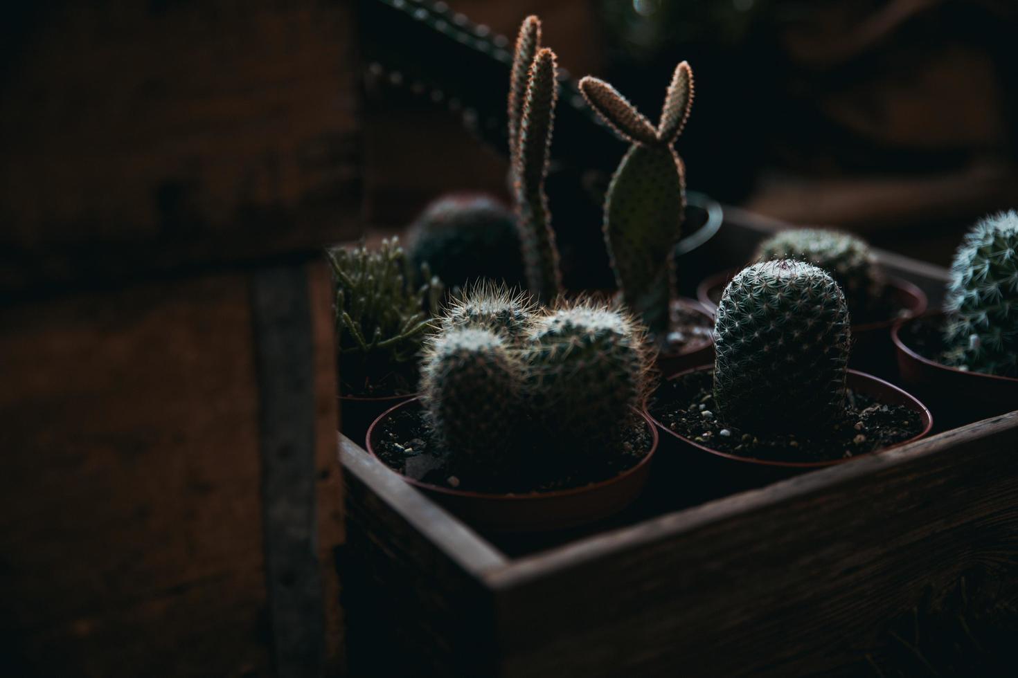 gröna kaktusplantor foto
