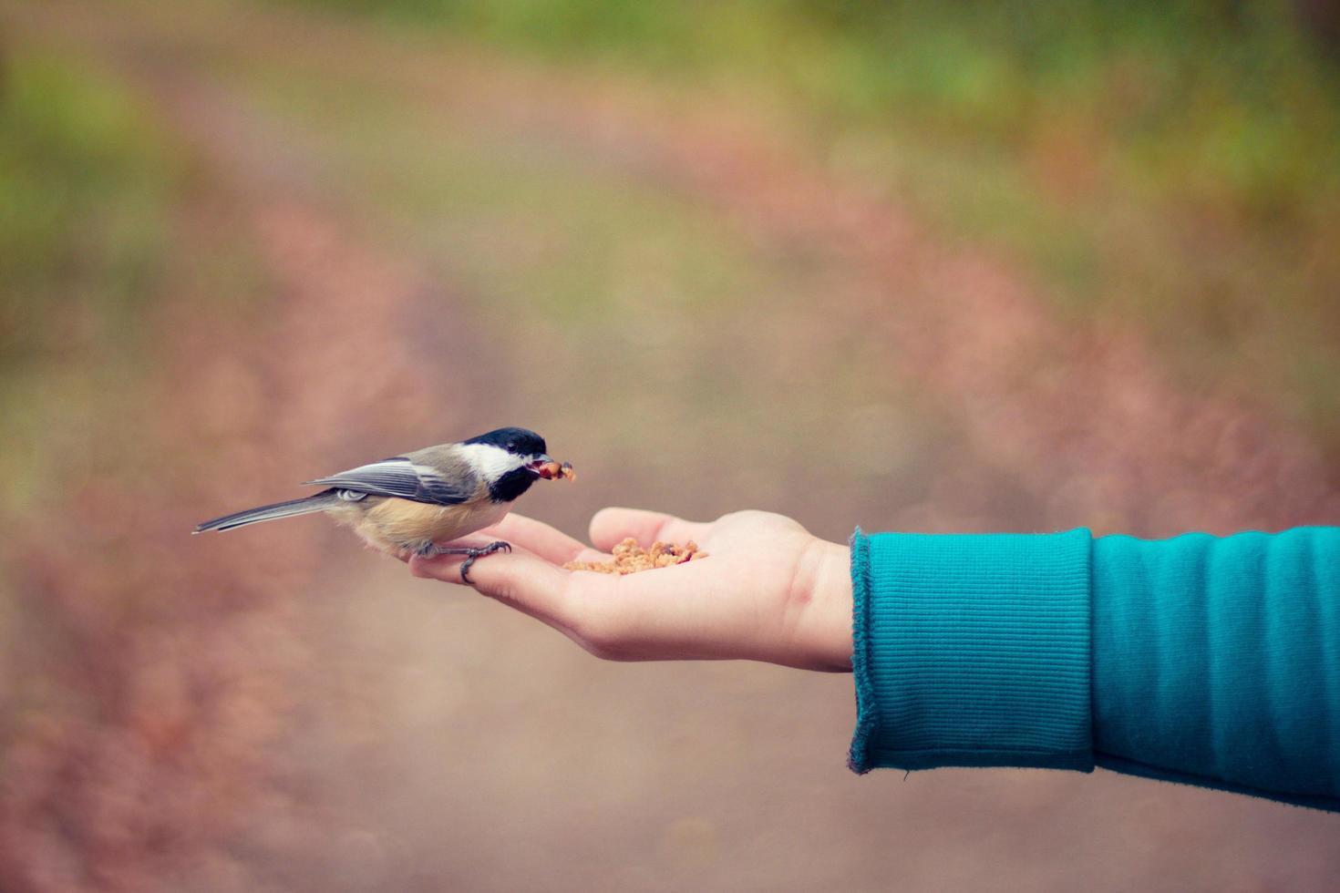fågel som äter ur handen foto