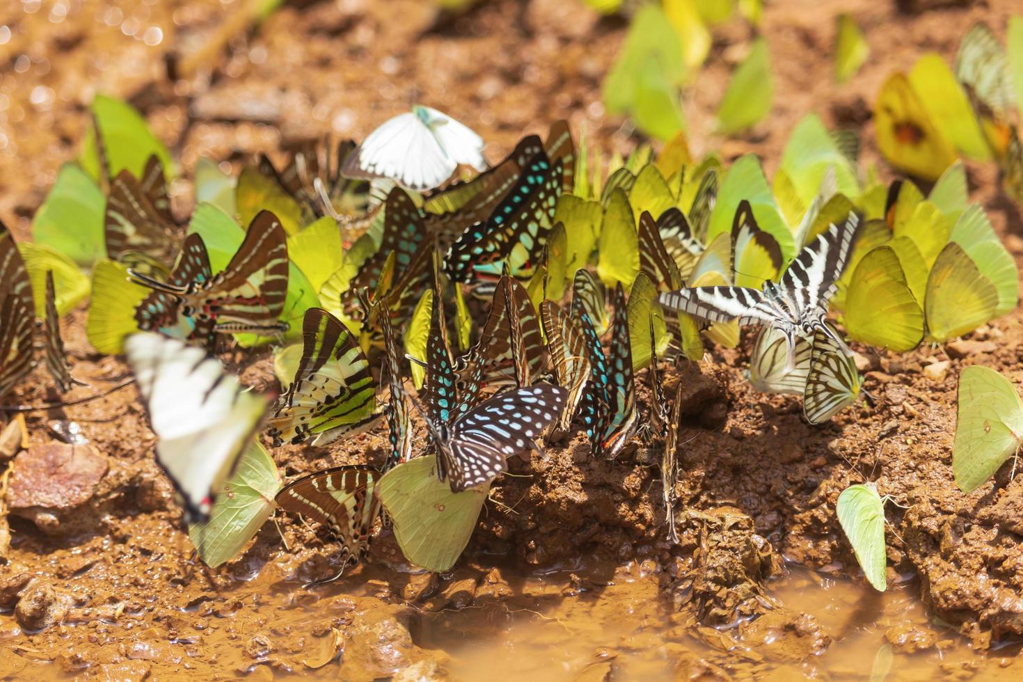 närbild av fjärilar i leran foto