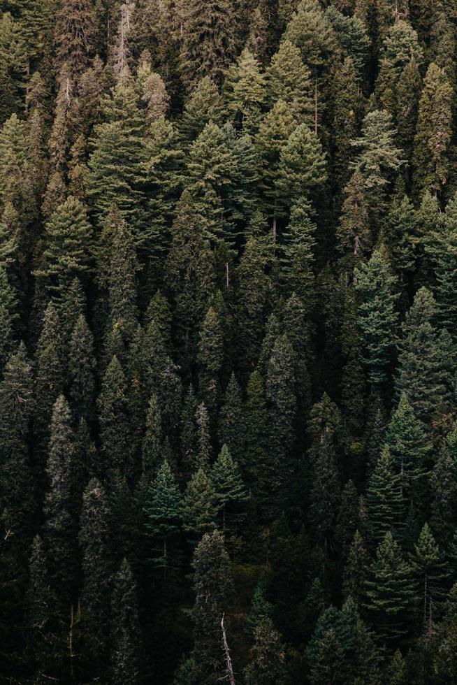 gröna tallar i skogen foto