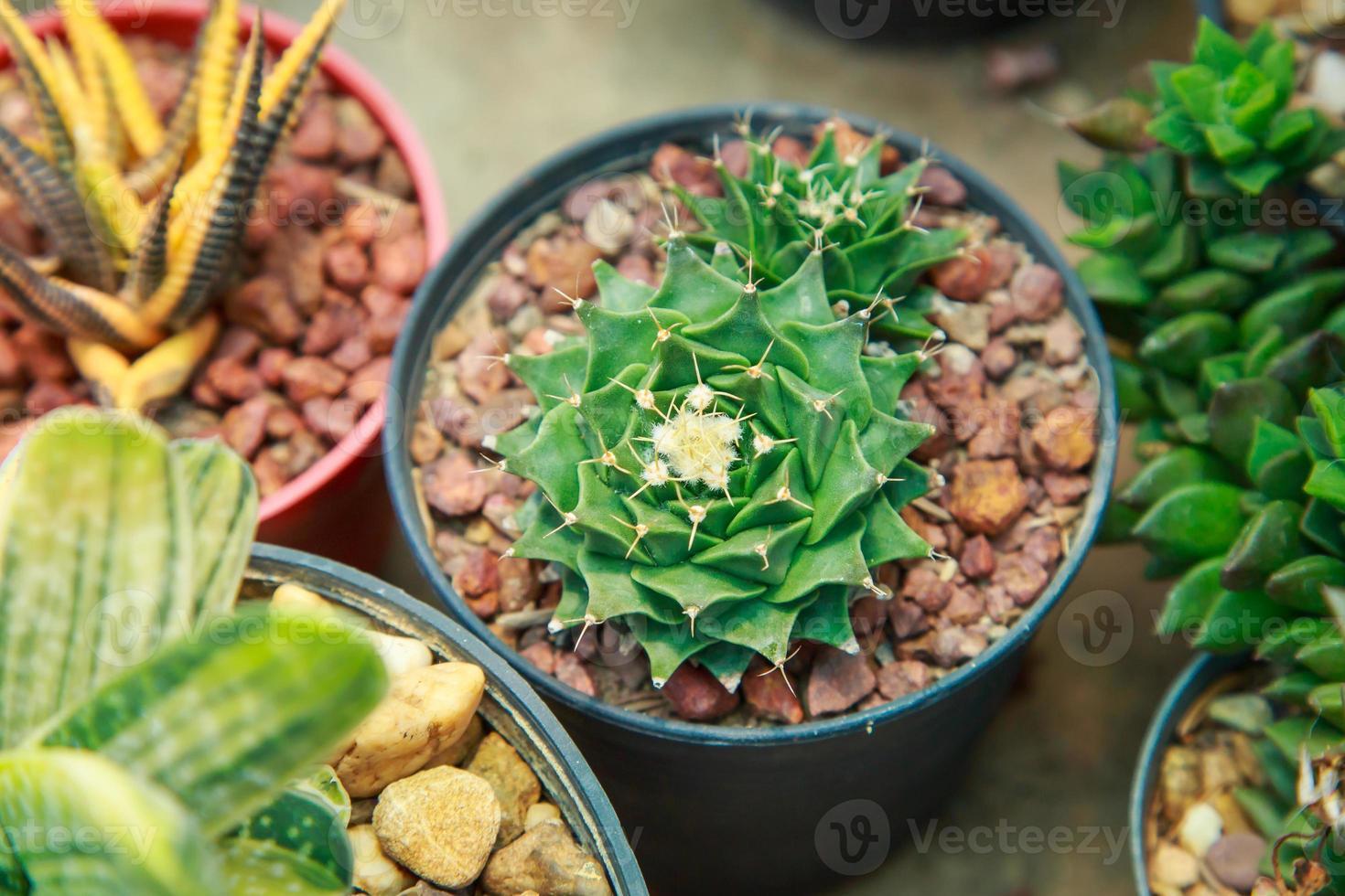 kaktus i blomkruka foto