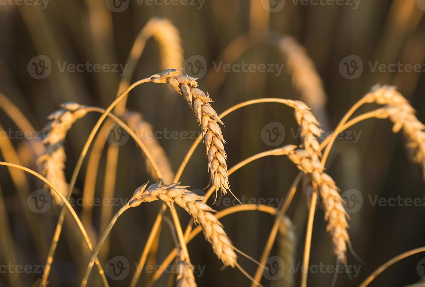 guldöron av vete under himlen foto