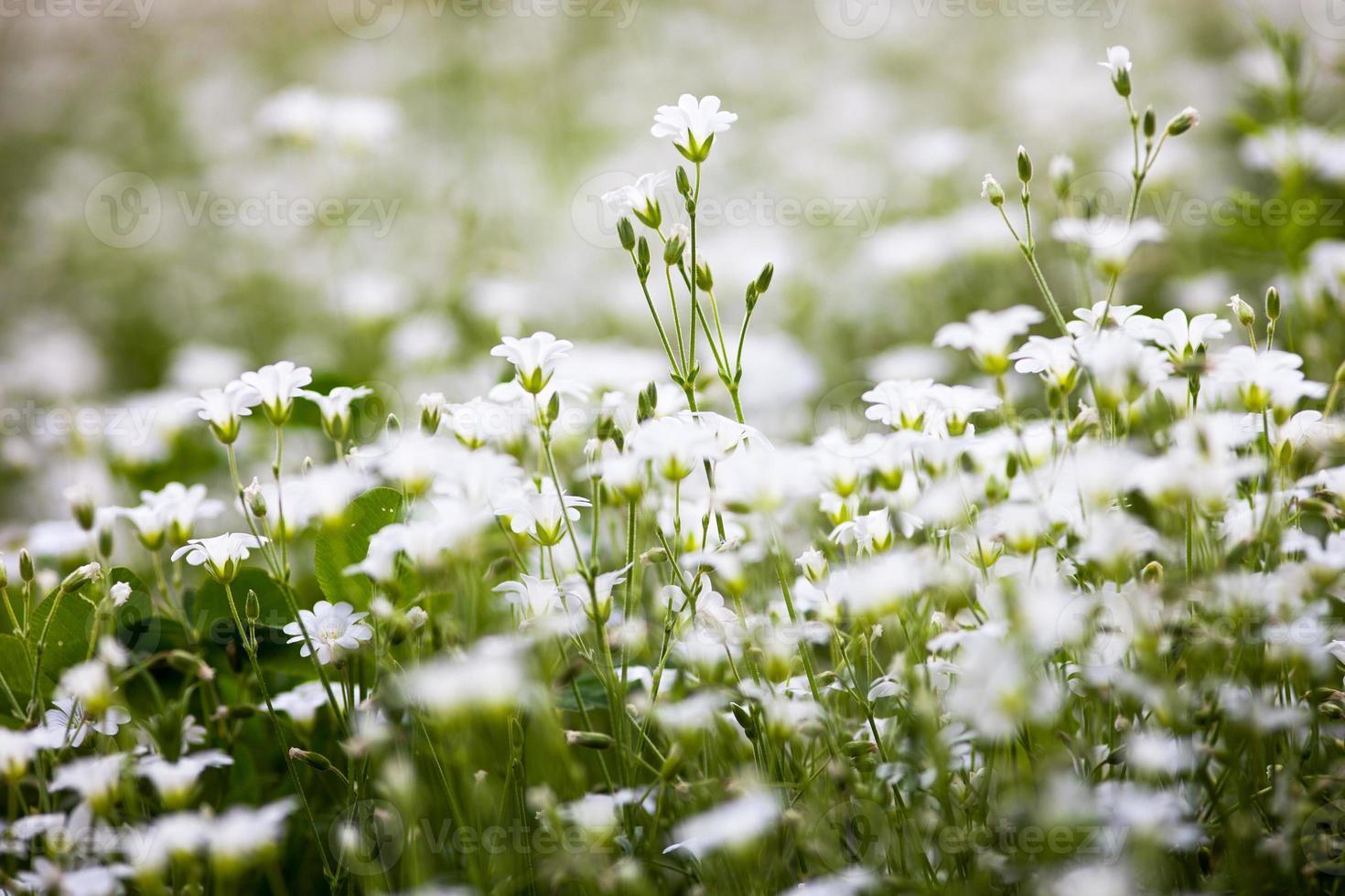 vita blommor av stellaria holostea foto