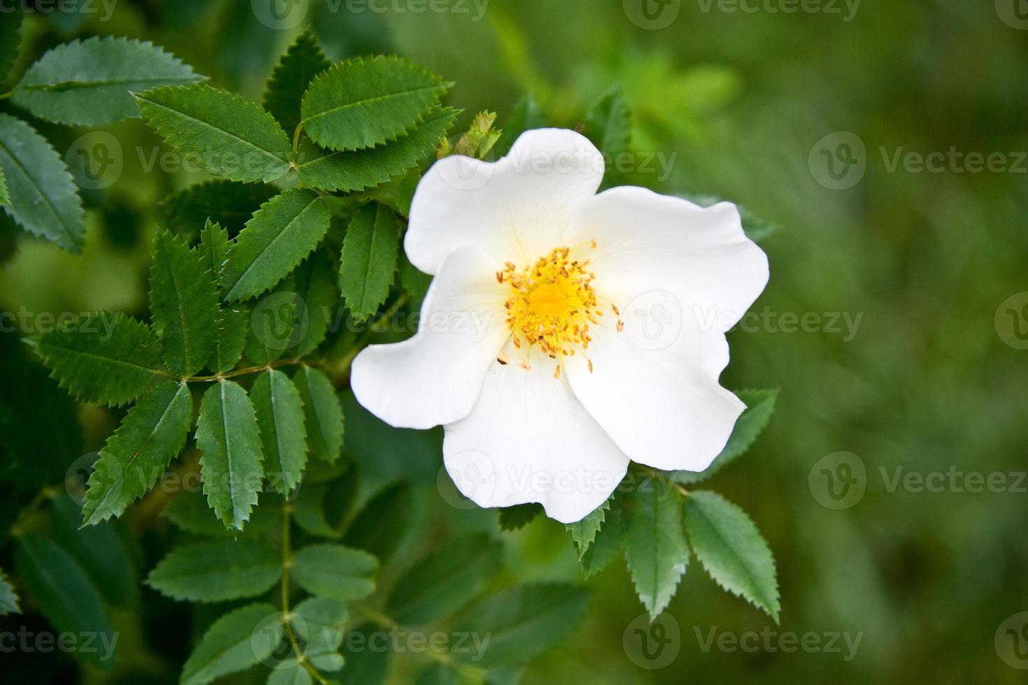 vit hund ros rosa canina blomma foto