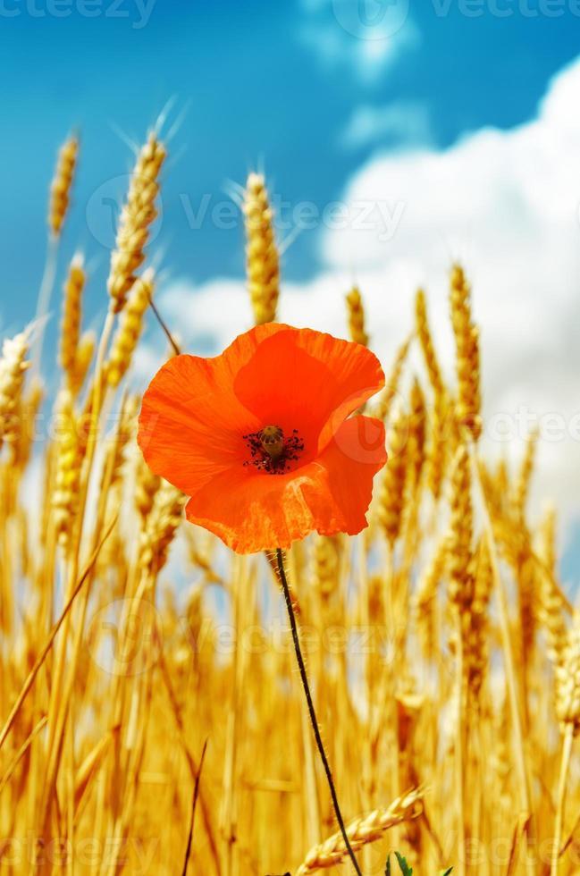 röd vallmo i gyllene skörd under blå himmel foto