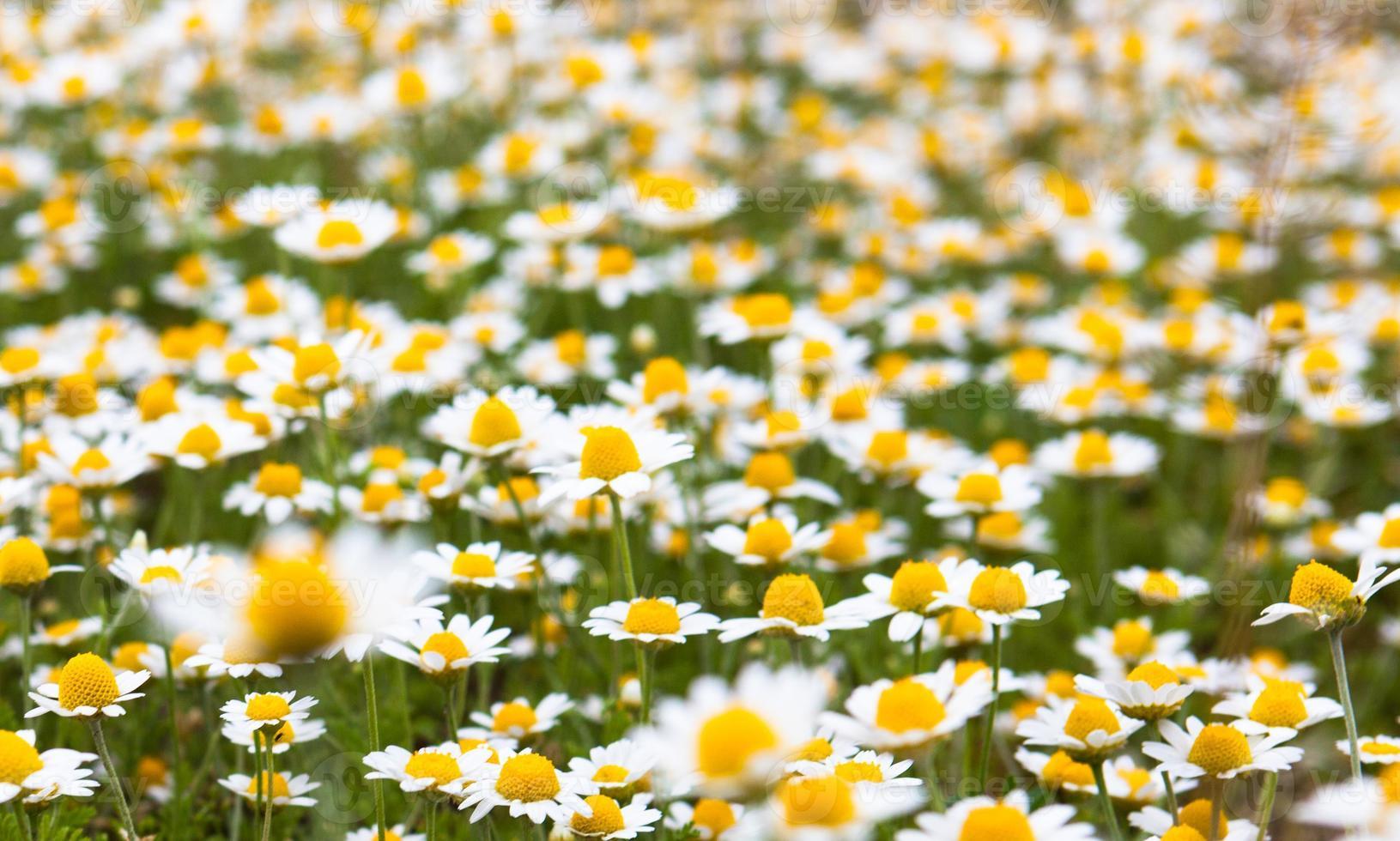 blommande kamomill foto