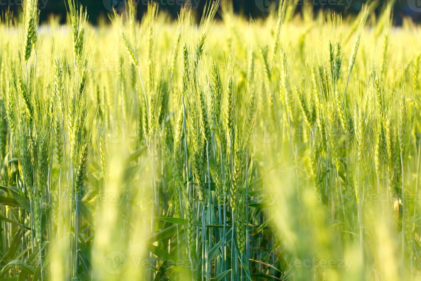 grön kornbakgrund foto