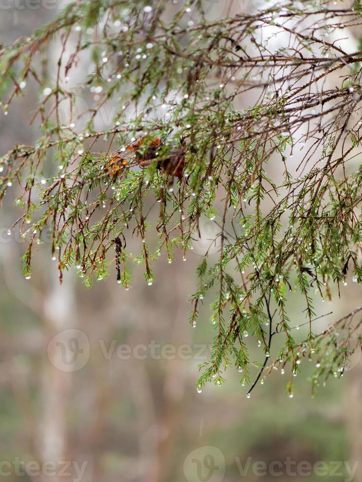 våta trädgrenar i vinterskog foto