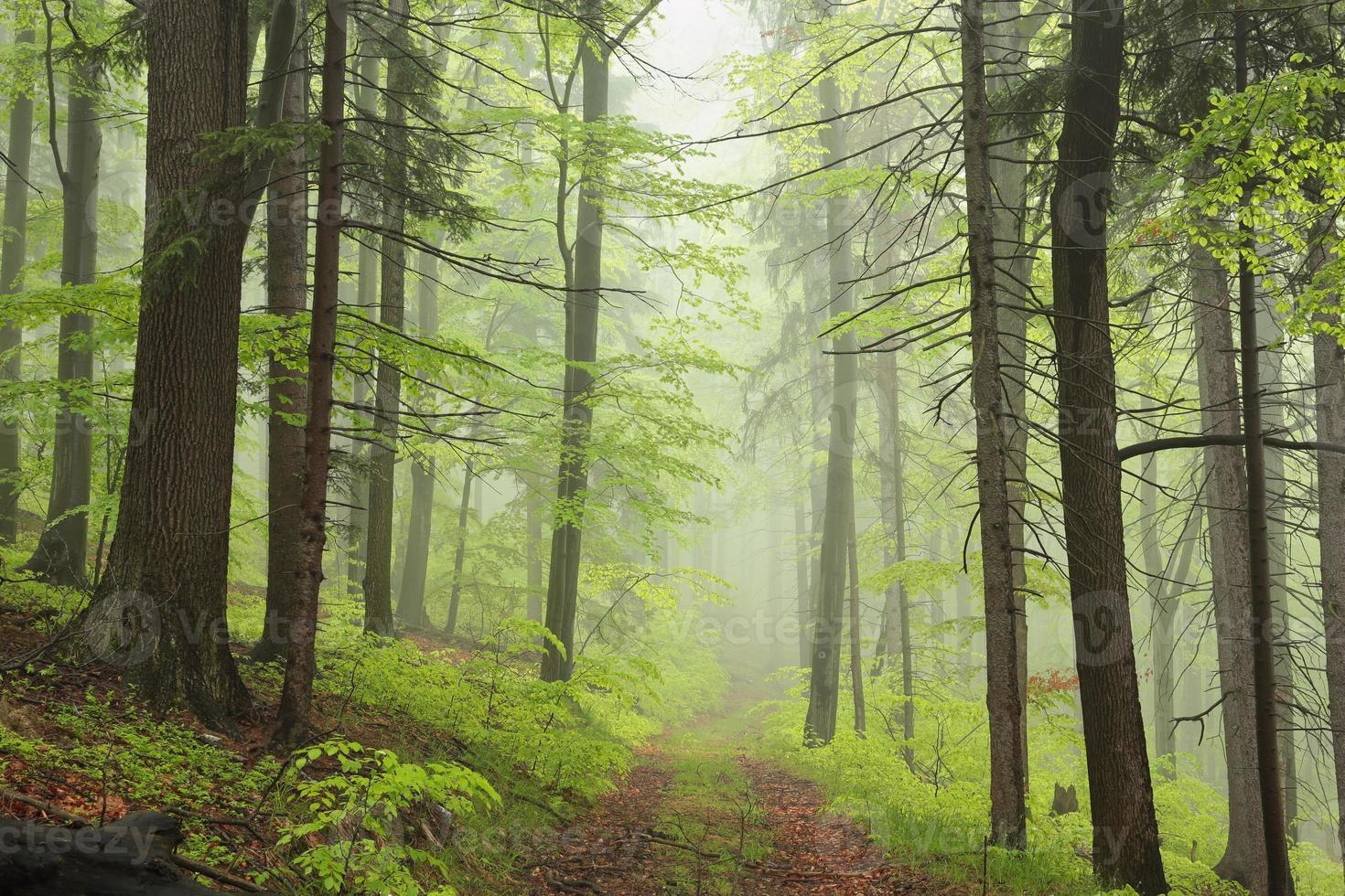 spår genom den dimmiga vårskogen foto