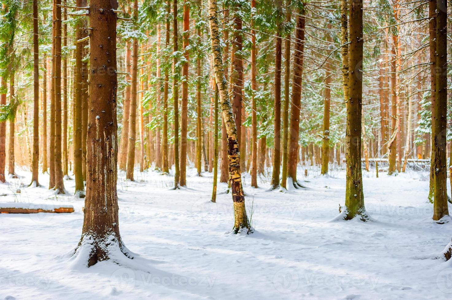 första fallna snön i granskogen foto