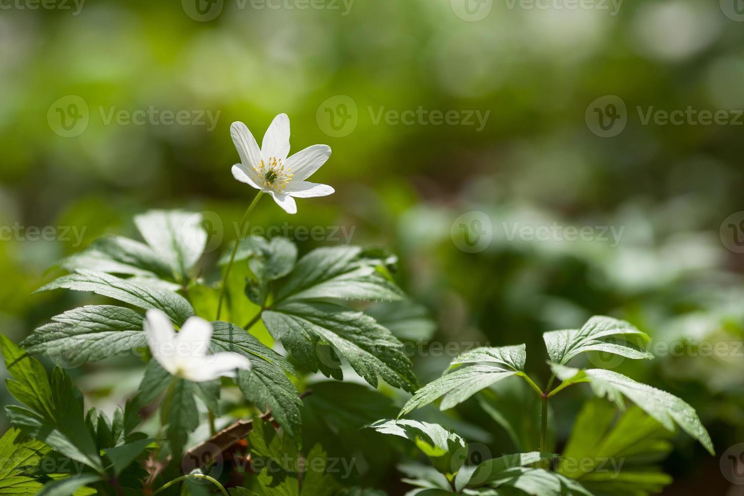 vita blommor anemone i skogen. första vårblommor foto