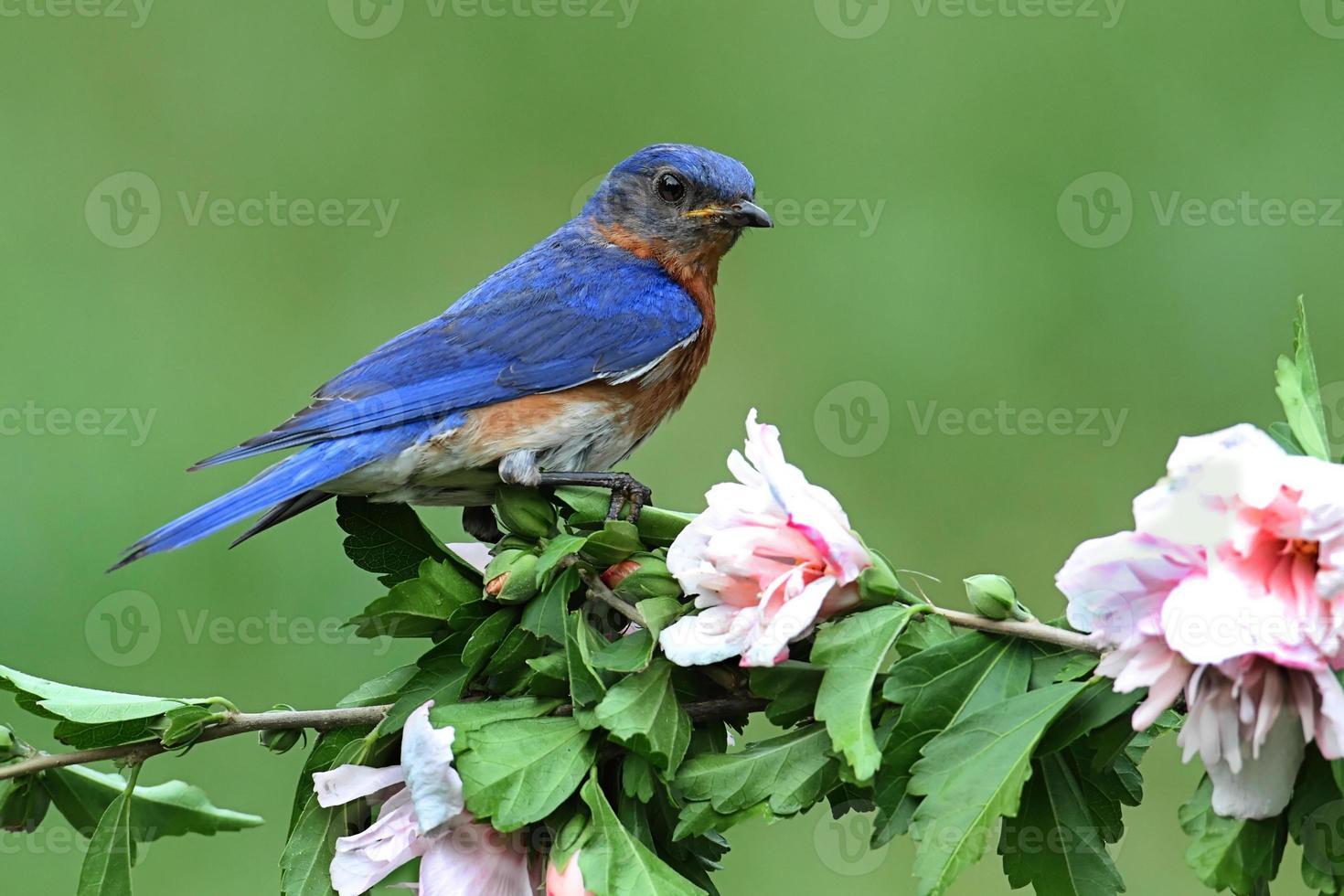 östra blåfågel foto