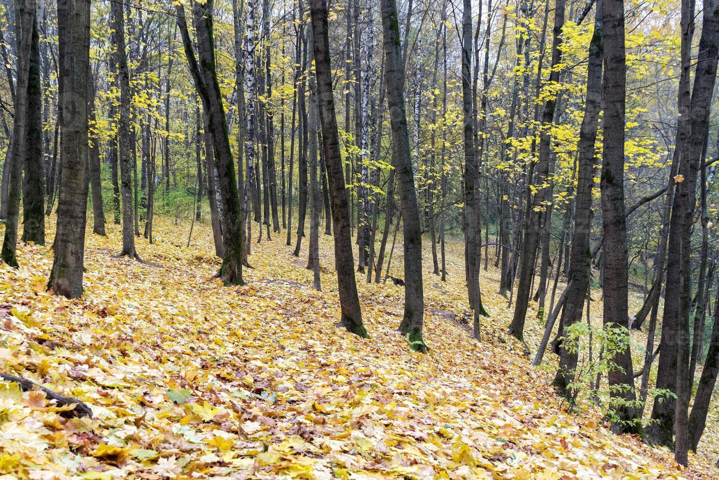 höstlönnlöv ligger i skogen. fokusera på förgrunden. foto