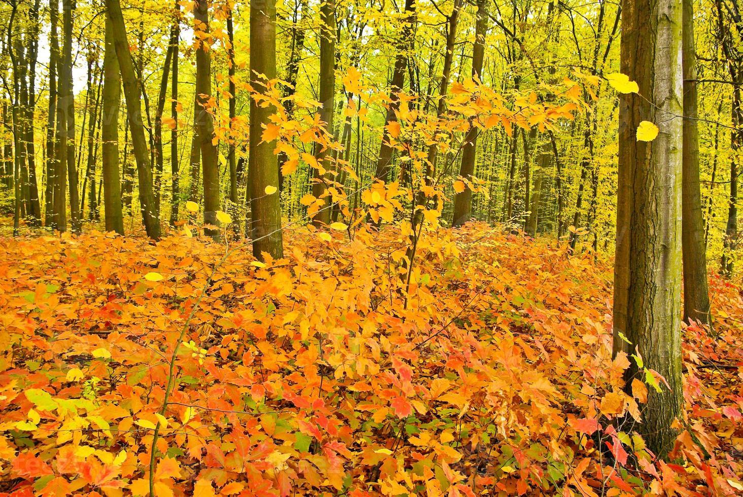 röda eklöv på träden i höstskogen. foto