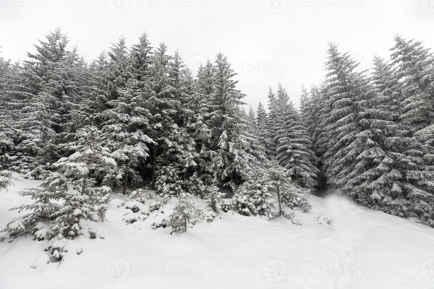 granträd dimmig skog täckt av snö i vinterlandskap. foto