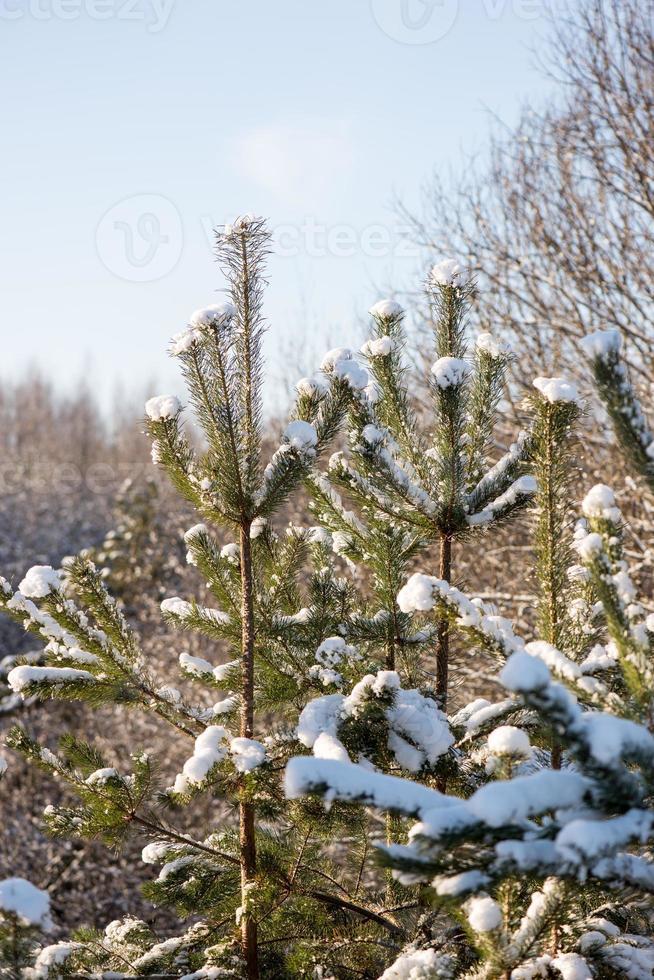 vinterträd täckta med snö i kyla foto