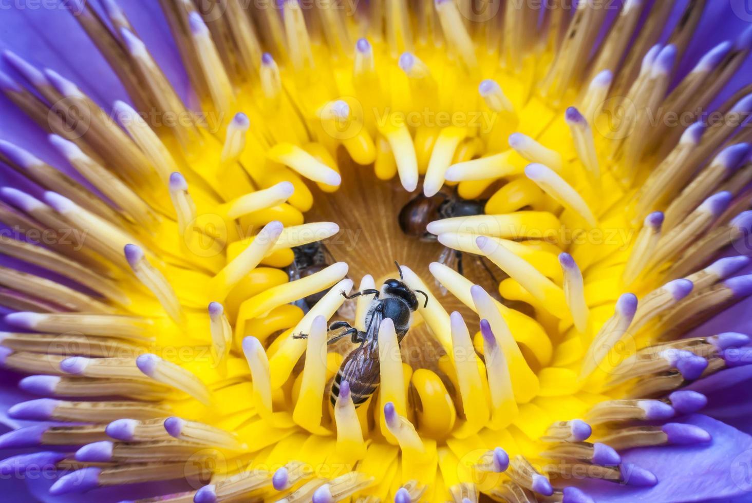 bi på vacker lotusblomma. foto