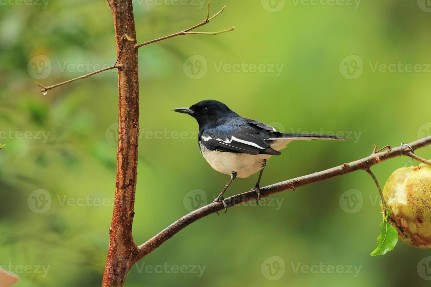 skata fågel foto