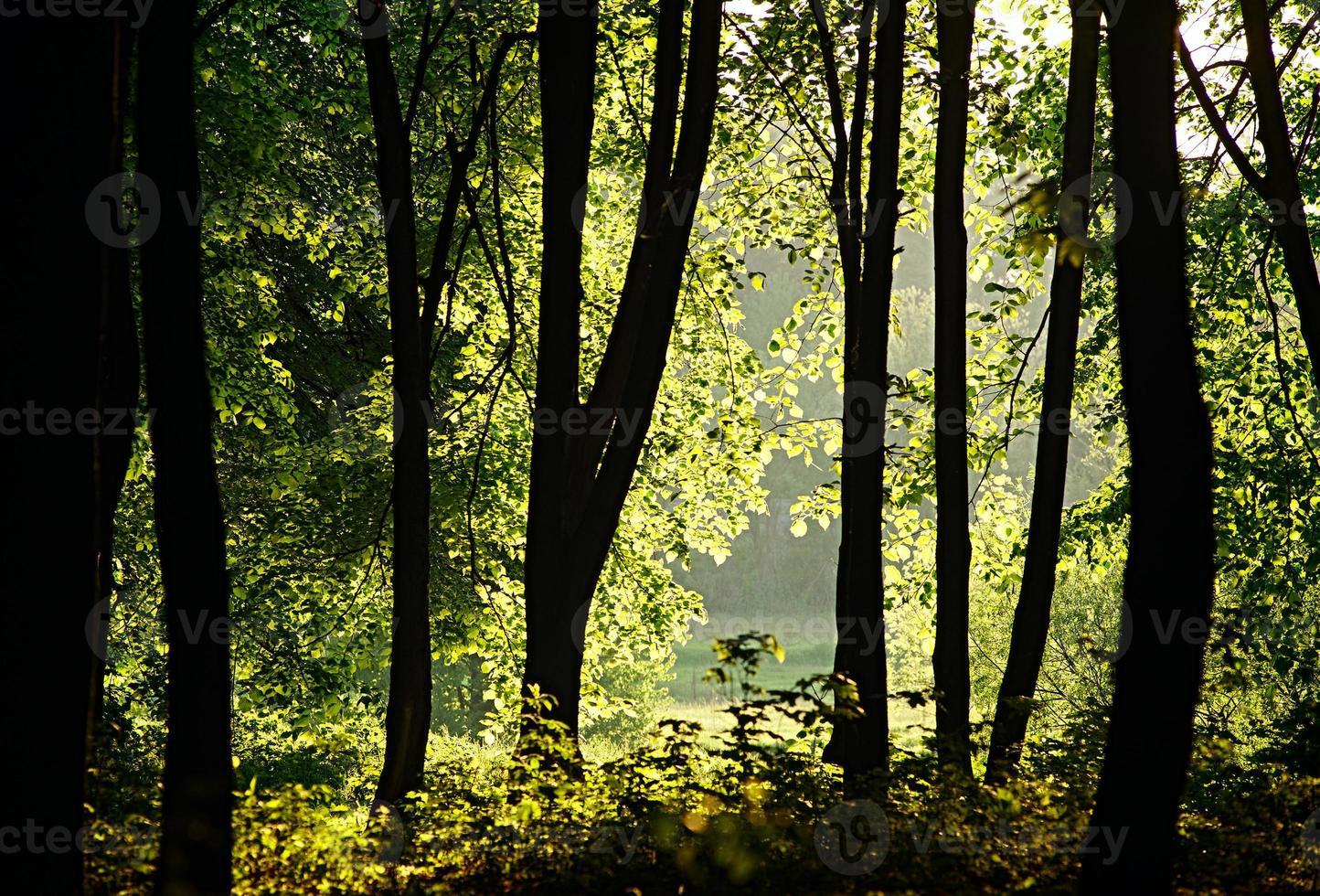 solljus filtrerar genom träden i skogen foto