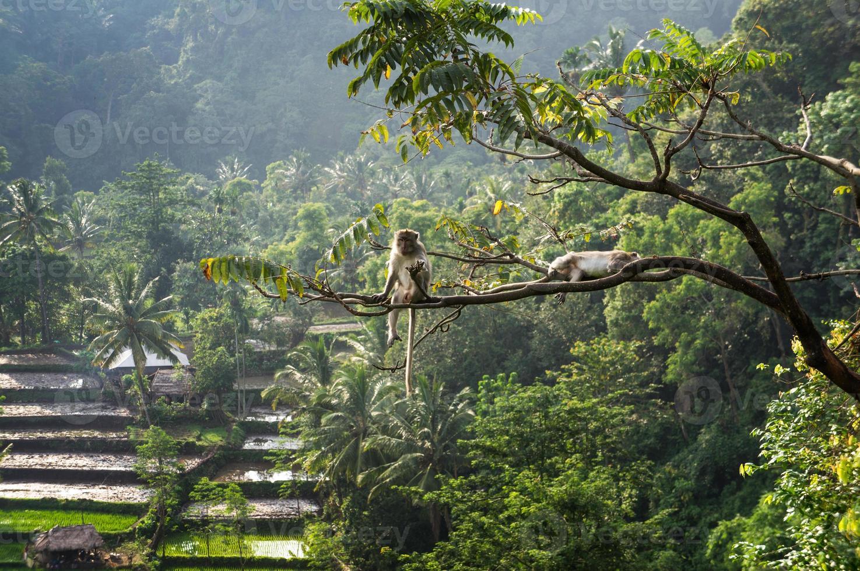 makak (macaca fascicularis) i regnskog som sitter på träd i s foto
