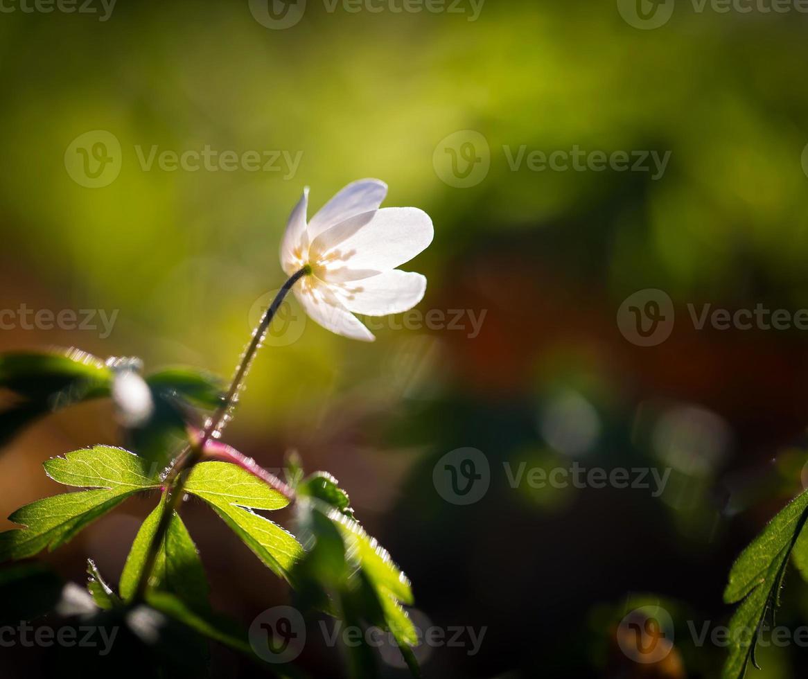 vita anemoner (anemone nemorosa). foto