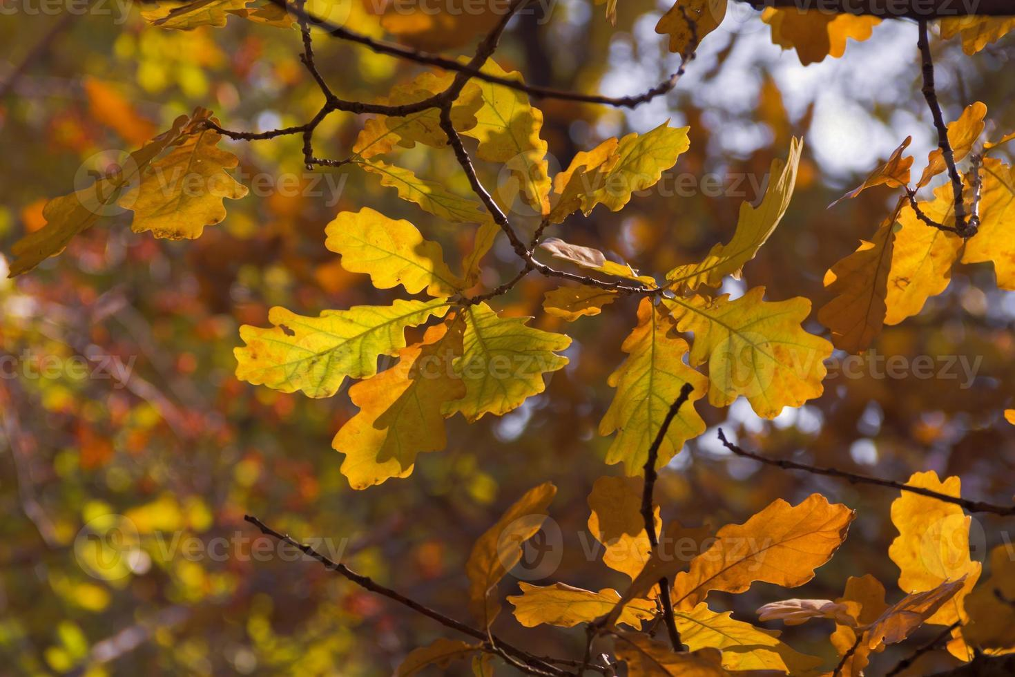 lämnar hösten på ekens grenar. foto