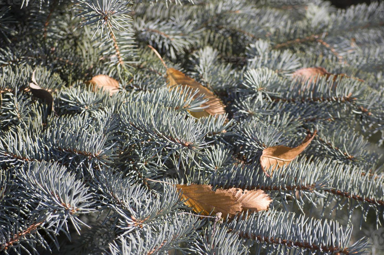 blå gran grenar på en grön bakgrund. foto
