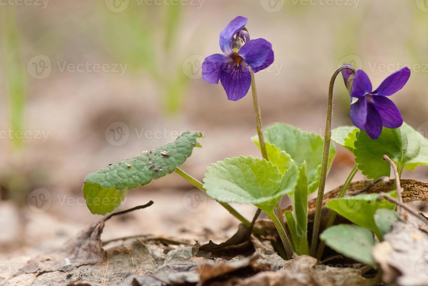 vilda violetta blommor foto