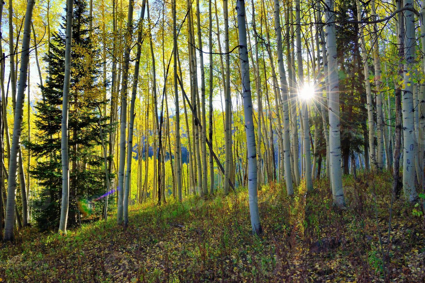 solen skiner genom den höga gula och gröna aspen foto