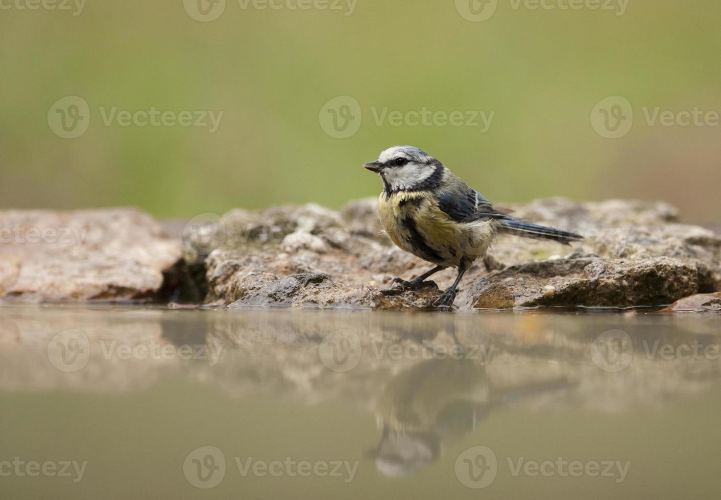blåmes (parus caeruleus) foto