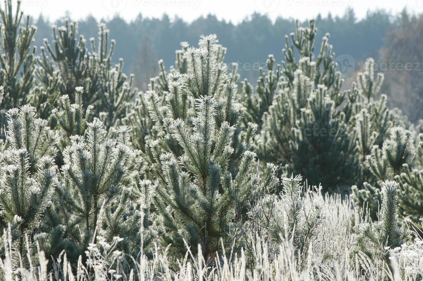 höstfrost på gräset och träden foto