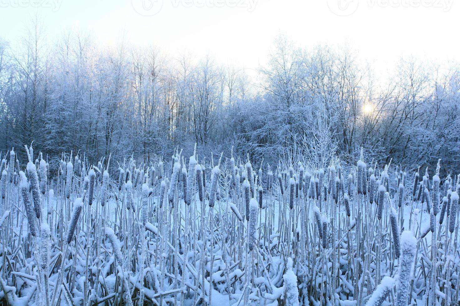frost, vinter, snö på det gamla gräset foto