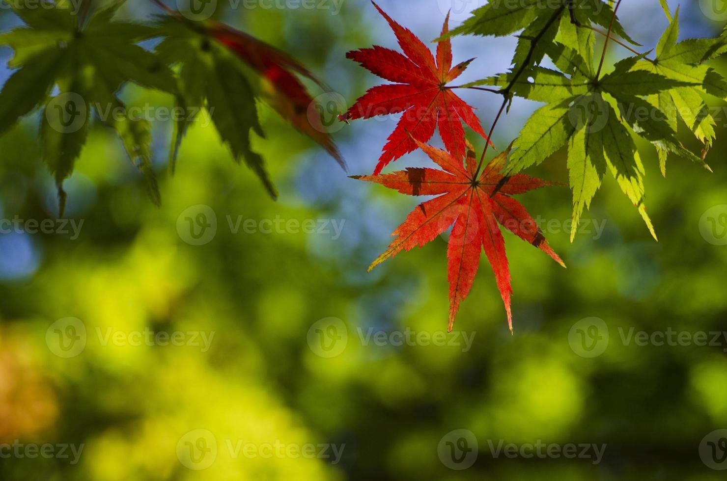 grön förändring till rött lönnlöv foto