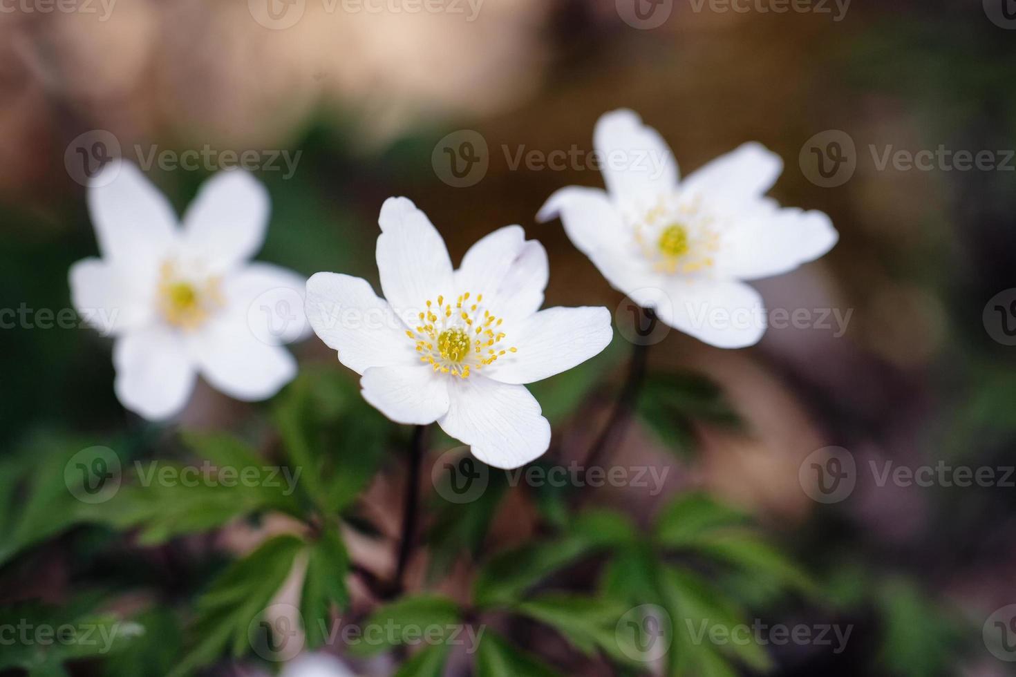 härlig anemone foto