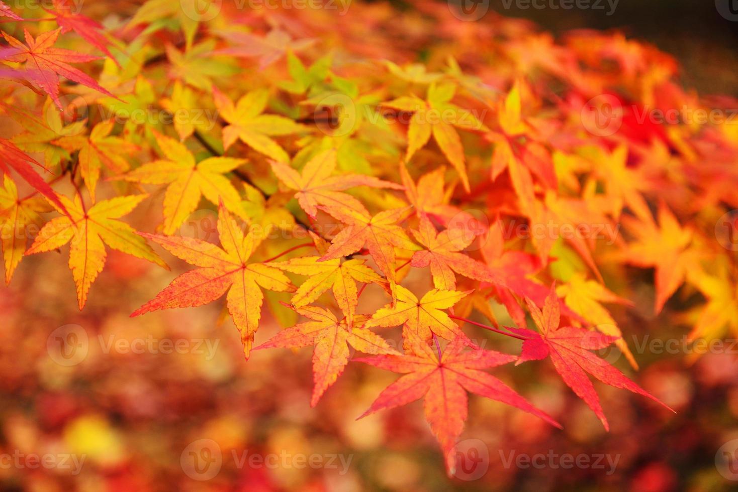 höstfärger i Japan / vackra höstlöv foto