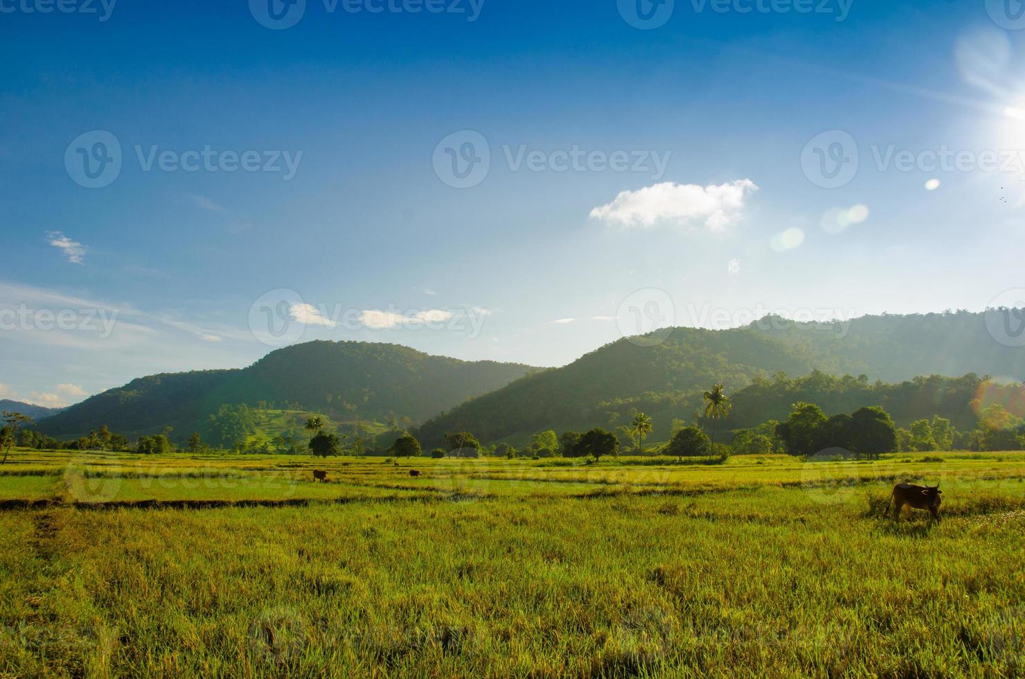 risfält på di linh höglandet foto